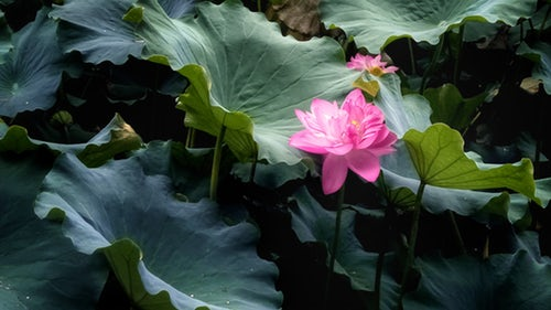 Growing Of Lotus Flowers And Everything You Need To Know