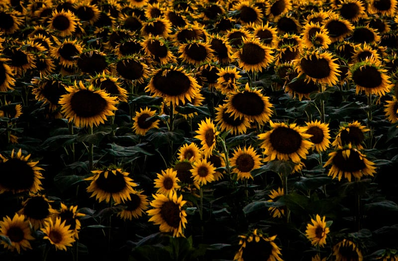 Tips on How to Grow a Sunflower From Seed