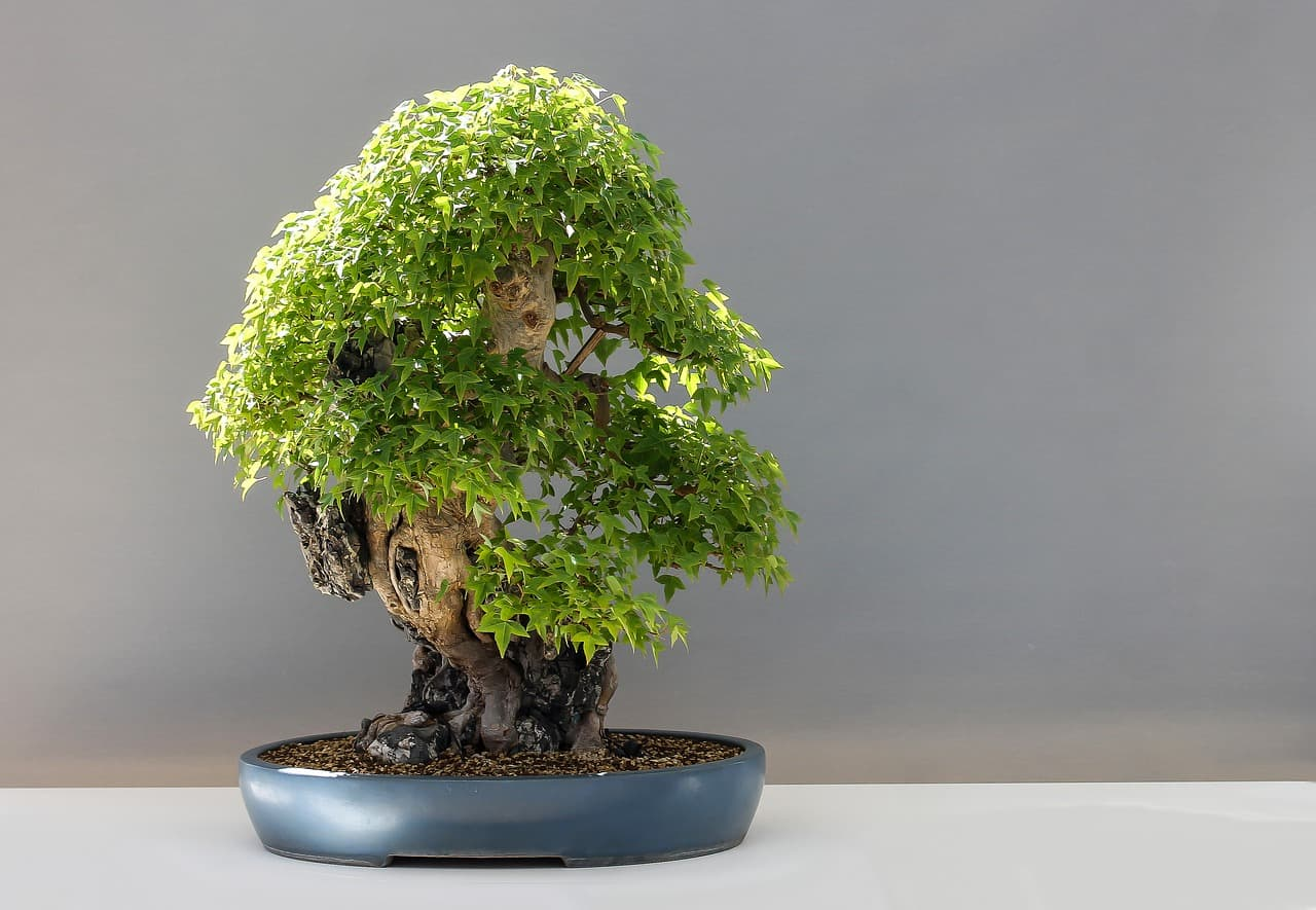 Decorating With Bonsai And Caring For Them