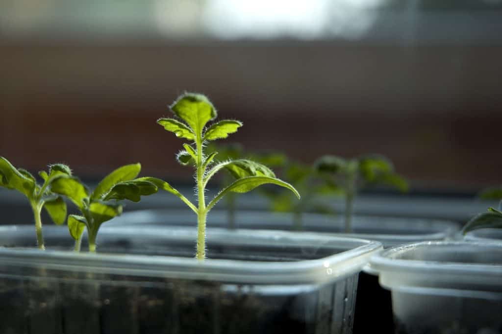 Vegetable Grafting Advantages That Will Help You