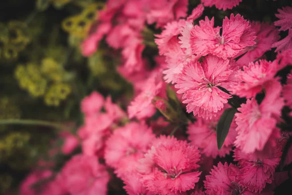 Decorating Your Garden With Pink Flowers