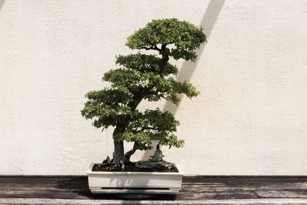 Some Information About Bonsai And Caring