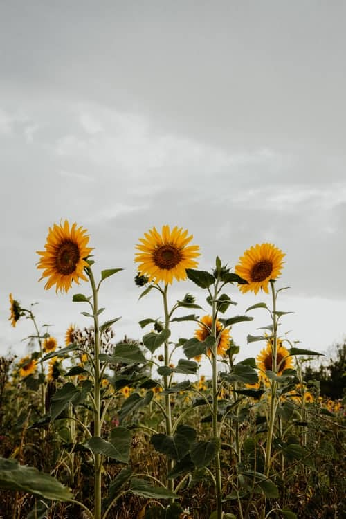 Sunflower Wedding Worth For Couples
