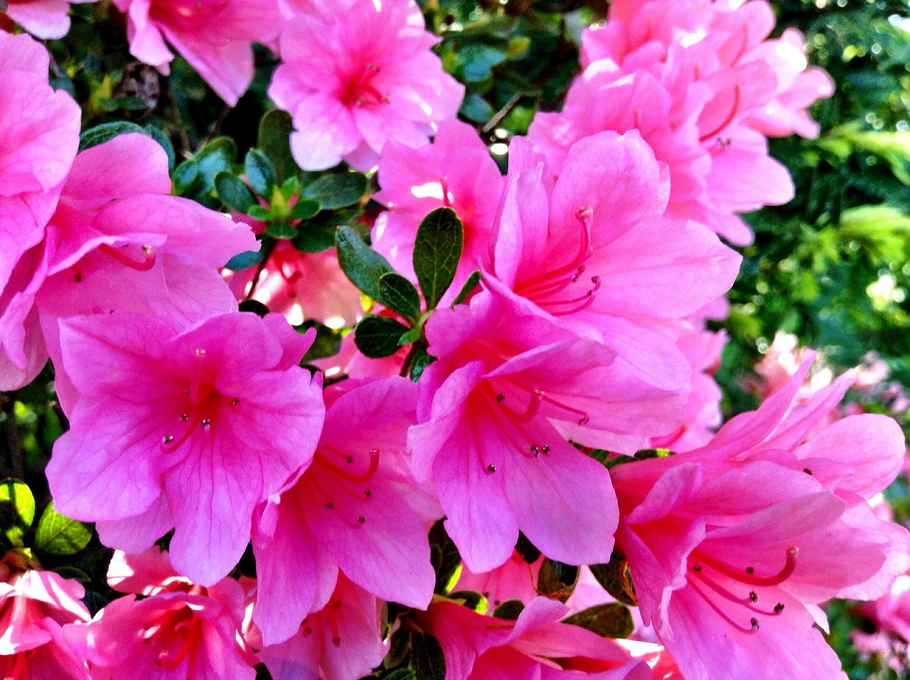 A close up of a bunch of pink flowers